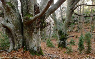 Un pla d'acció per conservar i custodiar els millors exponents de bosc madur de Catalunya