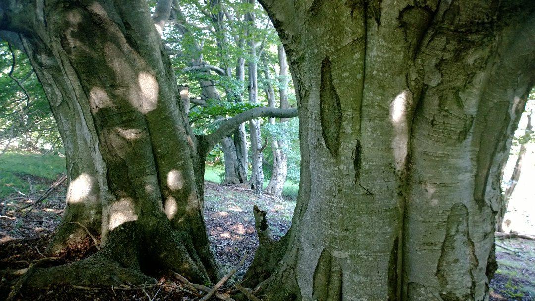 Altra Running s'implica pel #DiaDeLaTerra amb #SaveAForest i SÈLVANS i la preservació dels boscos centenaris