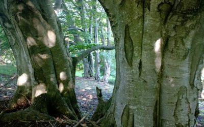 Altra Running se implica en el #DiaDeLaTierra con #SaveAForest / SÈLVANS y la preservación de los bosques centenarios.