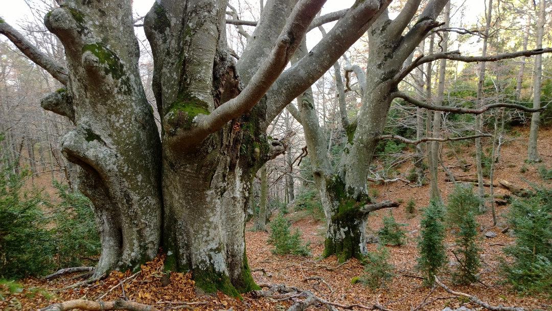 Un plan de acción para conservar y custodiar los mejores exponentes de bosque maduro de Cataluña